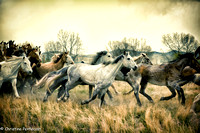 Horses running through a field at the finish of the Three Forks horse round up