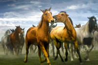 A horse is biting another horses as they run through Three Forks at the Horse Round up