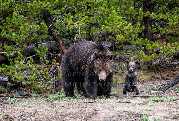 A grizzly sow with one of her cubs standing next to her, in Yellowstone National Park.