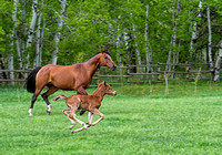 A horse and her young fillie running side by side in the pasture.