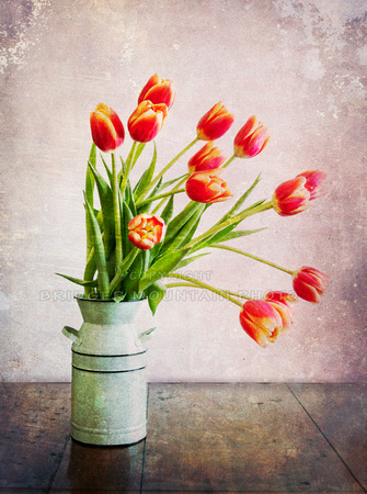 Tulips in a Milk Can