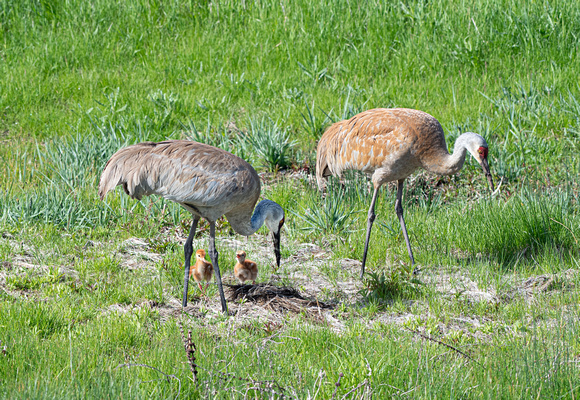 Sandhill Cranes with colts-1