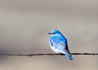 Mountain Bluebird on a Wire