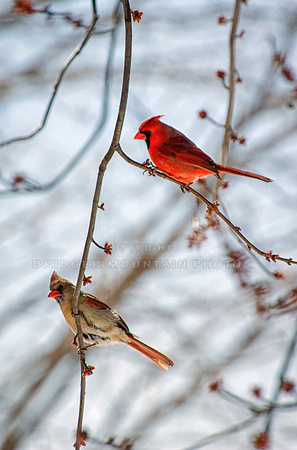 Cardinals in the branches