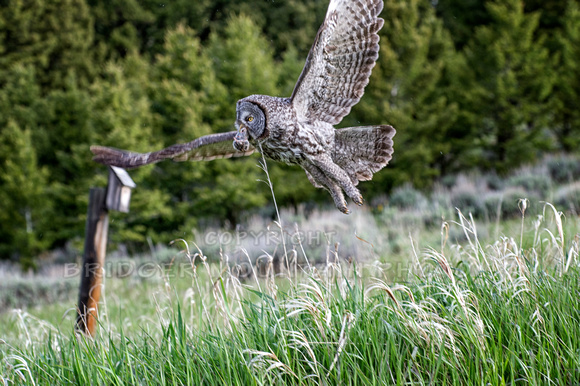 Great Grey Owl with a Mouse