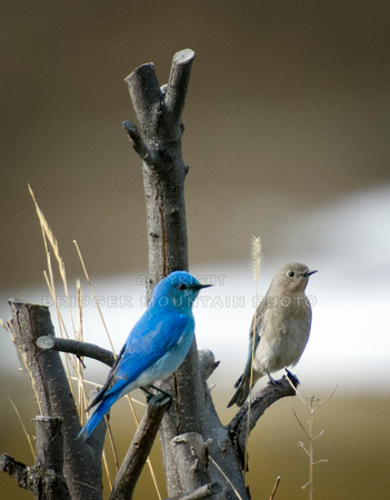 Male and Female Mountain Bluebirds sitting side by side on a tree branch.