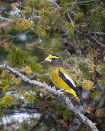 A brightly colored yellow and black Evening Grosbeak sits on a branch in a pine tree.