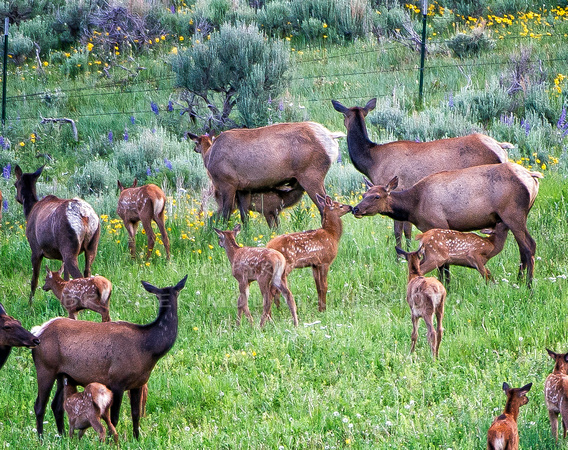 A herd of elk and their babies, with Mom kissing a baby while another baby feeds.