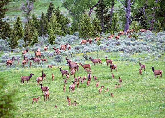 A large herd of elk along with their babies in the green grass of Montana