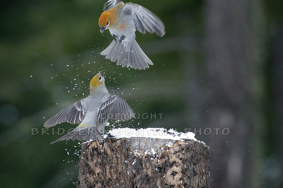 Pine Grosbeaks Battling it Out