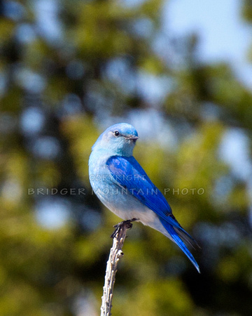 A brilliant blue mountain bluebird sits atop a pine tree branch.